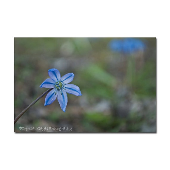 Wildflower Photography, Nature Themed Wall Print, Unframed Office Accent, Cornflower Blue Floral Picture, Botanical, Rustic Farmhouse Decor
