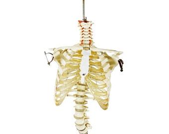 vintage skeleton model on cast iron stand