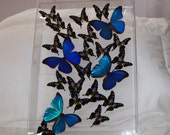 Real Swarm of Beautiful Iridescent  Metallic Blue Morpho Butterfly with Mosaic Patterned Accents