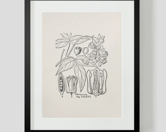 Vintage Botanical Illustration Print 3