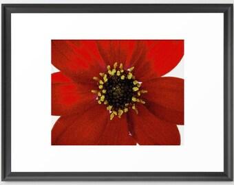 Art, Red Dahlia, Whtie, Botanical, fPOE, Fine Art (6 Sizes)