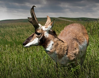 American Antelope Pronghorn by the Badlands in South Dakota No.06932 - A Wildlife Animal Photograph