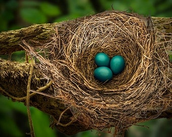 Robin Nest with Blue Eggs on a Tree Branch A Sign of Spring in Michigan No.20343 Fine Art Bird Nature Photography