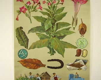 pulldown canvas Tobacco plant print poster chart wall hanging amazing german original