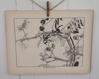 Everlasting Pea-LARGE Vintage Plant Form Print-Book Plate-1903-Ready To Ship