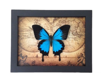 Real Framed Butterfly Taxidermy - Insects, Vintage, Map, Office, Furniture, Bugs, Taxidermy art, Natural, Unique, Gift, Special Occasion