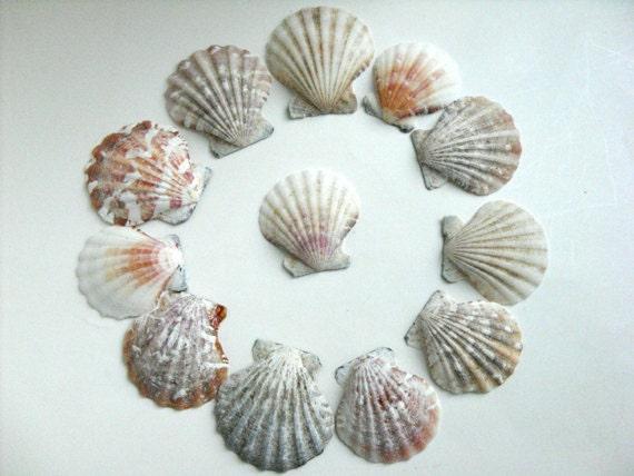 Scallop shells 24 seashells shells for garland craft - Scallop shells for crafts ...