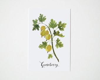 Gooseberry postcard