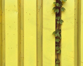 Ivy on yellow fence. Queens, NY