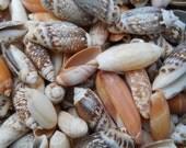 Assortment of SHINY OLIVE SEASHELLS nautical beach decor crafts bulk