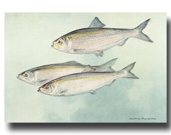 "Fish Print, 1930s River House Decor, Office Wall Art --- ""Alewife Herring"" No. 65"