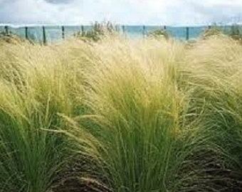 100 Ornamental Mexican Feather (Stipa tenuissima) Grass Seeds