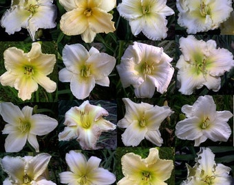 Daylilies, Grab Bag, Near White, Cream, and Ivory, Live Plants, Priority Shipping Included