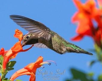 Hummingbird Gifts, bird photography, orange flowers & hummingbird, blue orange green nature decor, fine art print, bird lover gift