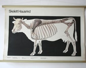 Vintage. Pull down chart. Anatomical. School. Science. Poster. Mid Century German DDR. Educational. Canvas. Cow (403)