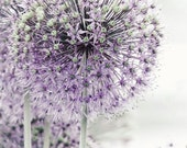 Allium Photograph - Purple Flower - Lilac - Pastel - Bright - Allium Flower - Wall Decor -  Flower Photograph - Nature Photography