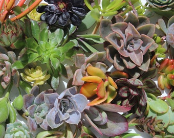"75 succulent cuttings 75 succulent clippings plant cuttings wholesale succulent cuttings bulk succulent clippings 1-5"" large clippings"