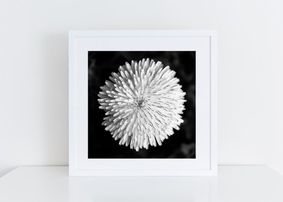 Dandelion // black and white dandelion flower photography,  floral wall art,  nature photography,