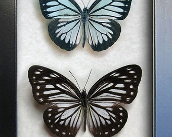 Pair Wanderer Powder Blue Pareronia Boebera Real Butterflies In Shadowbox