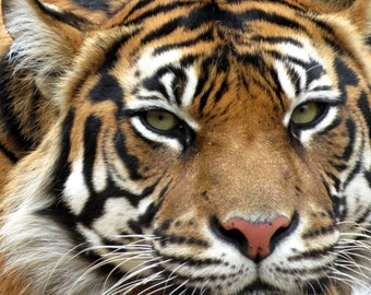TIGER Photograph; WILDLIFE Fine Art Photography; Tiger Close-up Photograph; orange black white cat wildlife photography 5x7 8x10 11x14