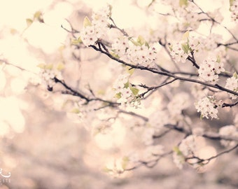 Spring Light - Photo Print, Flower Photography, tree blossom photo, white blossoms
