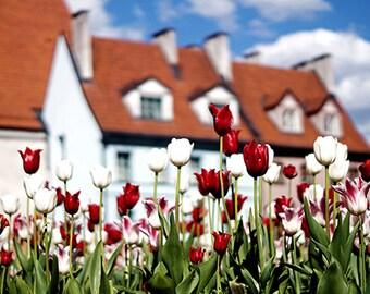 Tulip Photo Print - Fine Art Photography, tulip photography, floral print, red and white tulips, art print, urban nature, flower photo print