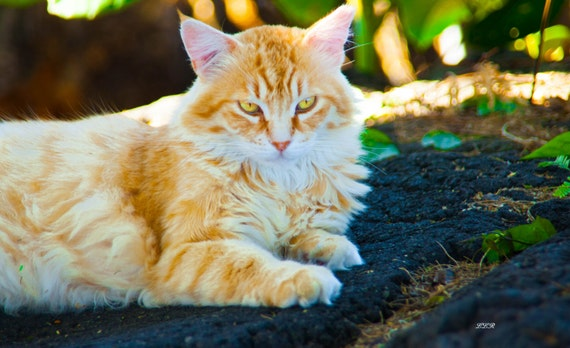 Hawaii Big Island Feral Cats