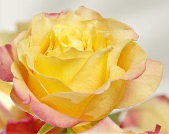 """Roses: """"Blushing Rose 3"""""""