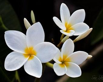 Plumeria Photography - White Plumeria - Fine Art Flower Photography - Frangipani Floral Art - Home Decor
