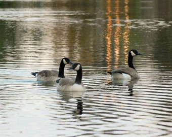 Graceful Aquatic Birds Giclee Print  V590289.3
