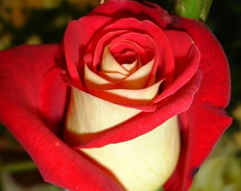 25 Red/White Rose Seeds Perennials Plants Flowers
