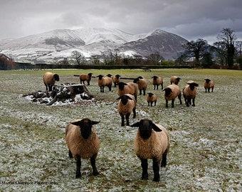 What Ewe Looking At? - Suffolk Sheep at Bassenthwaite - Mounted Photographic Print of the English Lake District