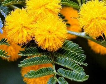 Golden Mimosa Tree Seeds (Acacia Baileyana) 20+Seeds
