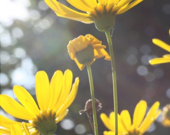 Yellow daisies in diffused light.