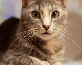 Surprised - Gray Tabby Cat Photo - Fine Art Photography - 4x6 Photo Print - Cat Lover Gift - Cat Decor - Pet Adoption - Cat Poster