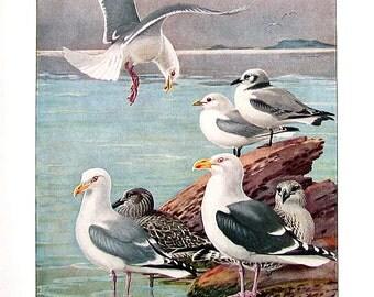 Bird Print - Gulls - Glaucous Gull, Herring Gull, Great Black Backed Gull - 1932 Book Page from Vintage Bird Book -10 x 7