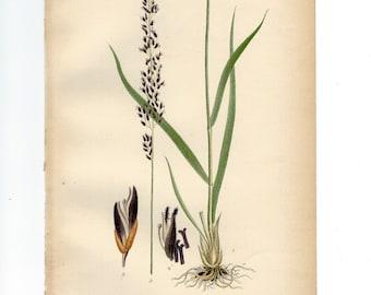 Vintage Botanical Book Plate Natural History Print Antique Botanical Illustration Molinia Coreulea, Purple Moor Grass, 1906 Nordens Flora