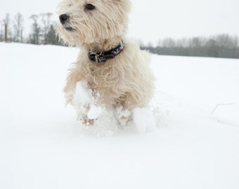I am Crumpet 14 - Dog Photography - Westie - West Highland terrier - Wall Décor