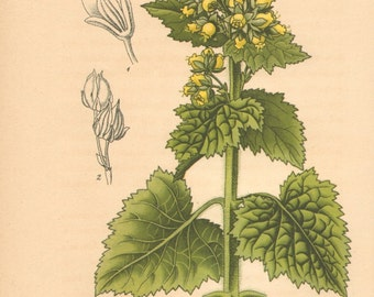 1884 Yellow Figwort, Scrophularia vernalis Antique Lithograph