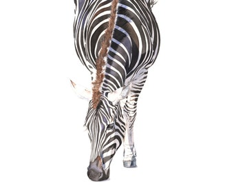 Zebra print of watercolor painting 5 by 7 size smallest print Z4315