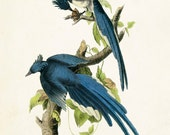 Vintage Audubon Magpie Jay - Giclee Canvas Print - Print Poster Bird Print - Natural History Art Print Wall Hanging - Home Decor