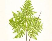 Fern Vintage Fern Series 1 No. 14 - Botanical Print - Giclee Canvas Art Print - Antique Botanical - Wall Art - Poster - Print - Wall Hanging