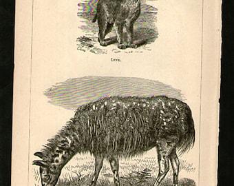 Antique Print, LLAMA LYNX 1871 wall art vintage b/w engraving illustration natural science chart