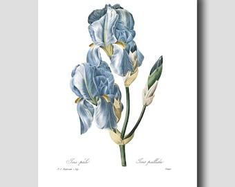 Iris Art Print, French Wall Art (Blue Home Decor, Botanical Art Print) --- Pierre Redoute Blue Flower Print No. 59