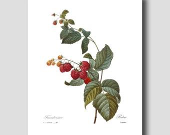 "French Farmhouse Decor (Wild Red Raspberry, Fruit Wall Art) ""Framboisier"" --- Pierre Redoute Botanical Print No. 40"