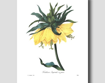 """Flower Art Print (Yellow Home Office Wall Decor) Redoute Botanical """"Crown Imperial"""" Lily Art No. 42"""