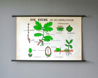 Vintage botanical chart educational school pull down chart oak tree botanical tree West German