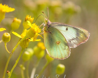 Yellow & Mint Green Butterfly art, nature photography, insect photo, live butterfly print, rustic home décor, fine art photograph