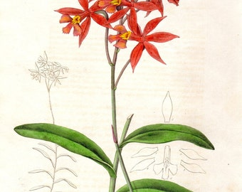 1840 Epidendrum Red Maund Botanist Antique Botanical Print Hand Colored Plate