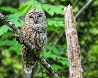 Wildlife Print, Owl Photographs, Owl Prints, Barred Owls, Owl Photo, Woodland Animals, Bird Prints, Raptor Photo, Owl Wall Art, Nature Photo